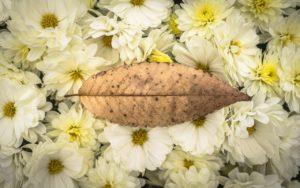 il crisantemo nella cultura giapponese