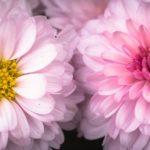 Confetto n° 22.  Il crisantemo nella cultura giapponese