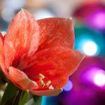 Confetto n° 25. Amaryllis: fiore magico d'inverno